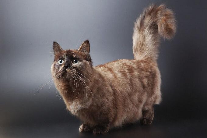 Bạn nên chọn mua mèo Munchkin từ những người bán có uy tín. Hợp đồng mua bán rõ ràng. Mèo đã trên 2 tháng tuổi và được tiêm phòng, tẩy giun đầy đủ.