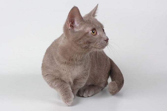 Oder mèo Munchkin nhập khẩu tại Dogily Petshop. Bạn có thể hoàn toàn yên tâm về chất lượng, độ thuần chủng với giấy tờ phả hệ rõ ràng
