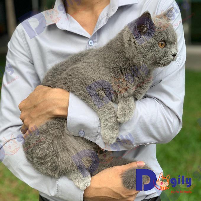 Ảnh một chú mèo Aln trong vòng tay nhân viên Dogily Petshop. Có thể thấy kích thước của chú mèo này khá to lớn so với các giống mèo khác