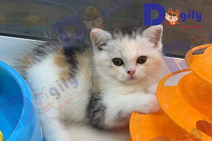 Mèo British sorthair có nhiều màu sắc phong phú ngoài màu phổ biến là màu xanh xám.
