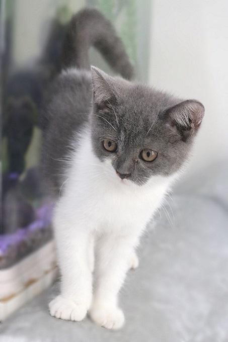 Một bé mèo Anh lông ngắn màu Bi-color, xám xanh 3 tháng tuổi đang bán tại Dogily Petshop.