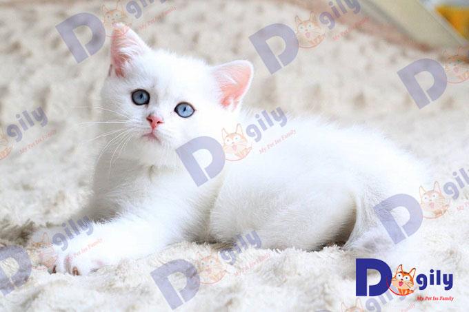 Một em mèo anh lông ngắn màu trắng nhập Nga của Dogily. Nếu không được lau tuyến lệ thường xuyên. Mèo sẽ bị ố phần lông dưới mắt, đặc biệt lộ rõ với mèo ALN có màu lông trắng