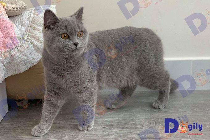 Bạn nên chọn mua mèo Anh lông ngắn từ những nhà nhân giống hoặc người bán có uy tín để hạn chế các rủi ro về bệnh di truyền.