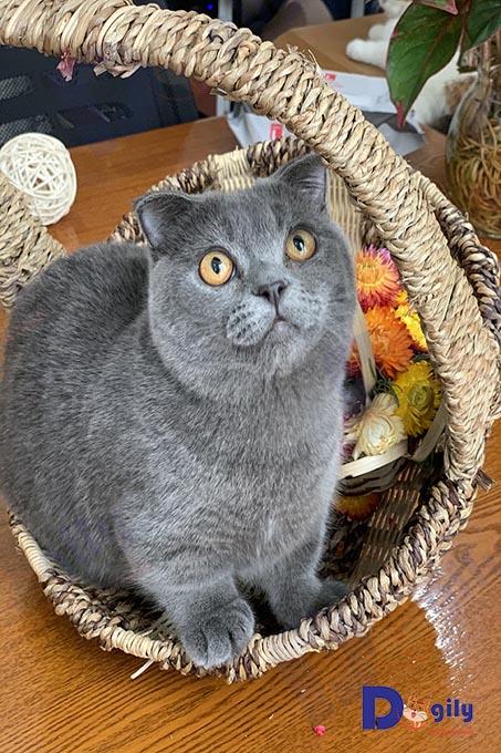 Chú mèo chân ngắn tai cụp lửng màu xám xanh tên Ở nhà Dogily...