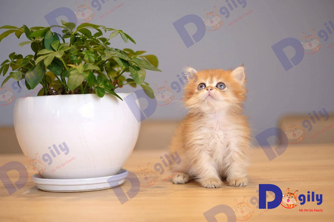 Thông tin tổng hợp về giống mèo Anh lông ngắn