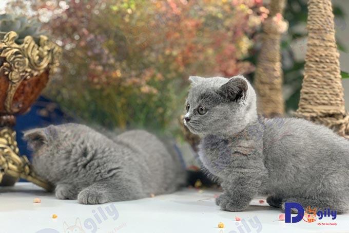 Các bé mèo Munchkin chân ngắn màu xám xanh 2 tháng tuổi sinh sản tại Việt Nam của trại mèo Dogily Cattery.
