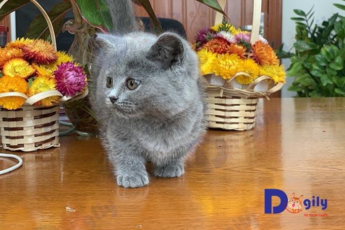 Một chú mèo Munchkin chân ngắn màu xám xanh 2 tháng tuổi được bán tại Dogily Pet Shop Quận 1, Tphcm.