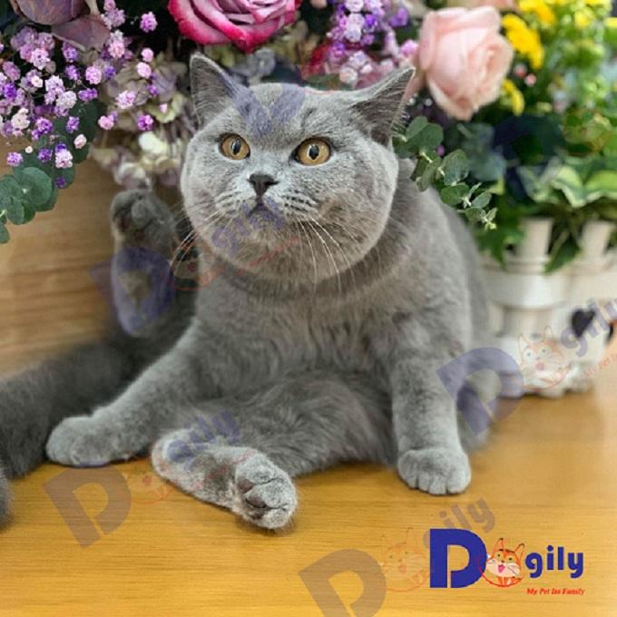 Ngoại hình mèo Anh lông ngắn với ấn tượng bởi những đường tròn từ gương mặt, đôi mắt, bàn chân và thân hình tròn xoe, mũm mĩm. Ảnh: Chú mèo Aln xám xanh đực giống nhập khẩu Nga của Dogily Petshop.