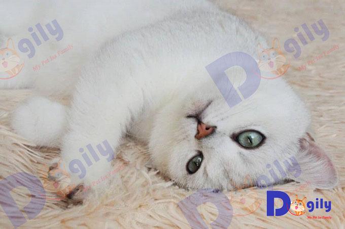 Là giống mèo phổ biết nhất trên thế giới hiện nay. Nhưng ít người biết giống mèo Anh lông ngắn từng phải đổi mặt với nguy cơ tuyệt chủng.