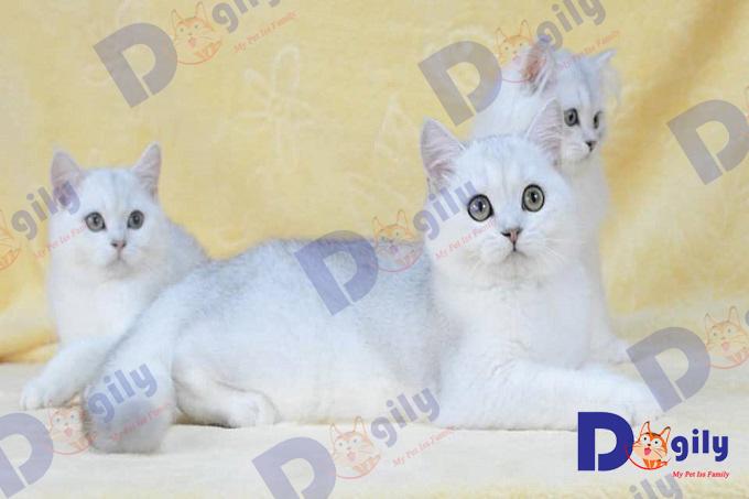Nếu được chăm sóc tốt và có gen thọ cao. Tuổi thọ của mèo ALN có thể lên đến trên 15 năm.