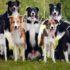 Giá chó Border Collie bao nhiêu tiền! Địa chỉ mua bán chó border collie thuần chủng tphcm, hà nội!