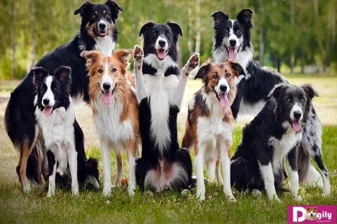Hình ảnh đàn chó border collie tuyệt đẹp