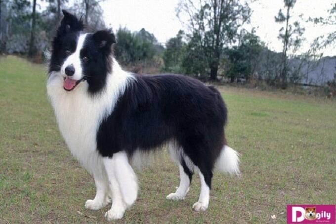 Nhập khẩu chó border collie từ Thái Lan tuy chó khá đẹp nhưng có nhiều rủi ro