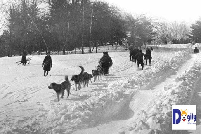 Ban đầu chó Chinook được lai tạo để sử dụng cho việc kéo xe trượt tuyết chở người và vật dụng tại vùng Bắc Mỹ. Hình ảnh bên trên chụp cảnh chó Chinook kéo xe khoảng đầu thế kỷ 20