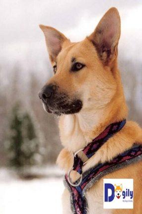 Hình ảnh một chú chó Chinook thuần chủng với ngoại hình mạnh mẽ, săn chắc