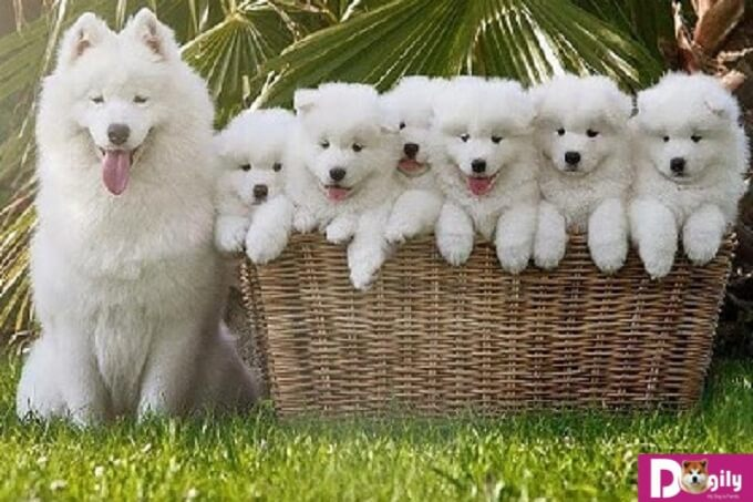 Cách nuôi và chăm sóc chó Samoyed hiệu quả nhất