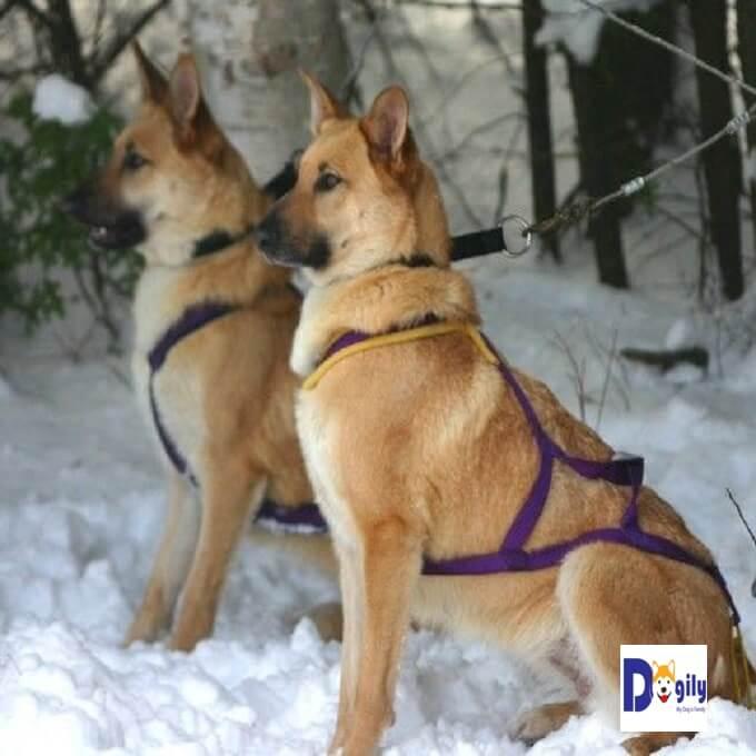 Bạn nên có chế độ dinh dưỡng hợp lý cho chó Chinook. Kết hợp với vận động, tập thể dục thường xuyên tránh để bị béo phì. Dễ dẫn đến các bệnh về tim mạch, xương khớp