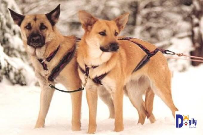 Bạn nên chọn mua chó Chinook từ những người bán chó uy tín và trách nhiệm