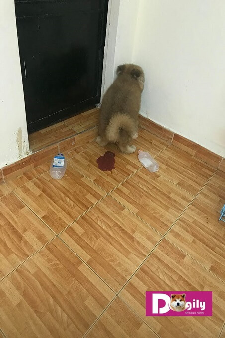 Trên 80 % số ca nhiễm bệnh pravo virus là ở chó con dưới 12 tháng tuổi.