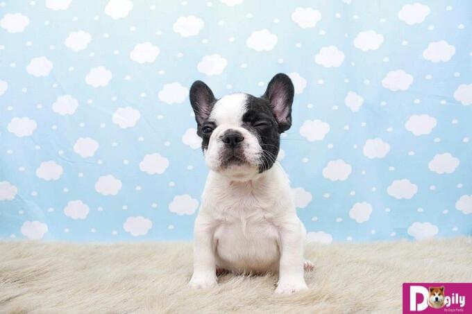 Hợp đồng mua bán, sổ tiêm , giấy bảo hành, hướng dẫn chăm sóc chó Bull Pháp con