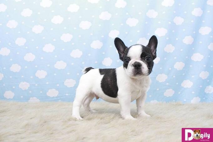Chó Bulldog Pháp – Giống chó mặt xệ ngộ nghĩnh, đáng yêu