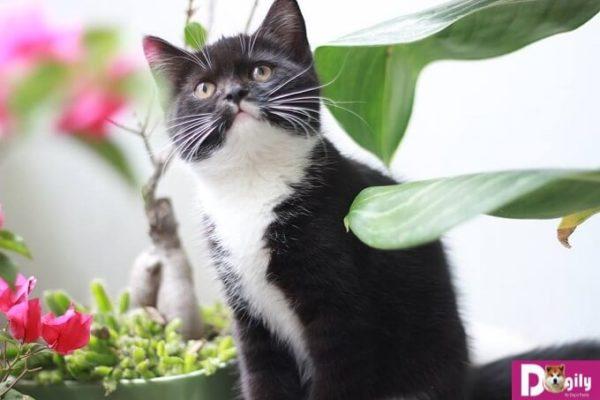 Bán mèo Anh lông ngắn màu Tuxedo 3 tháng tuổi tại Dogily Petshop.