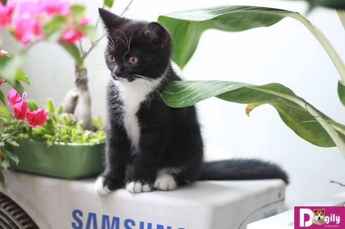 Hợp đồng mua bán, sổ tiêm , giấy bảo hành, hướng dẫn chăm sóc mèo Tuxedo con