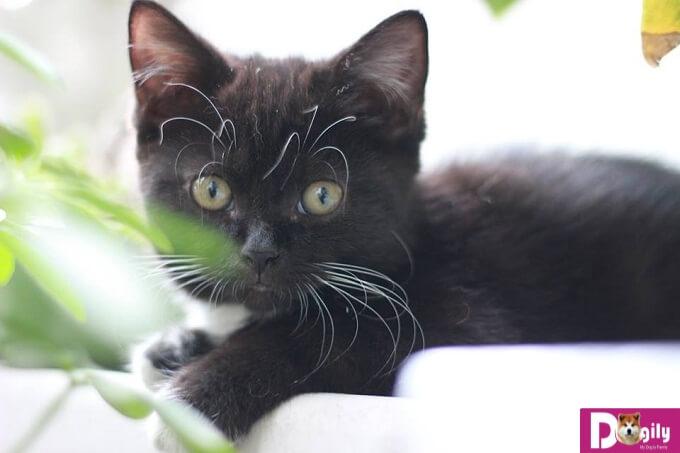 Bạn nên chọn mua mèo ALN con thuần chủng từ những nhà nhân giống và những người bán có uy tín