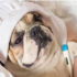 Giun đũa và sán chó – Hai loại ký sinh trùng cực nguy hiểm cho thú cưng