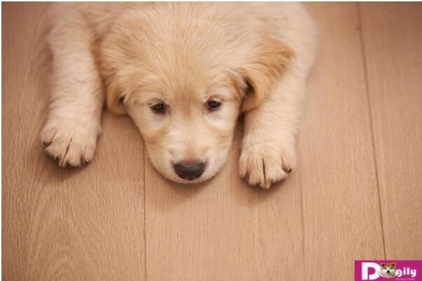 Điều trị giun đũa chó và sán chó như thế nào để mang lại hiệu quả?