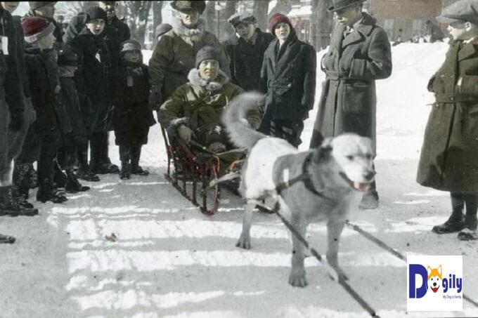 Hình ảnh Hình ảnh nhà nhân giống Arthur Walden trên chiếc xe trượt tuyết được kéo bởi chó Chinook trong năm 1922