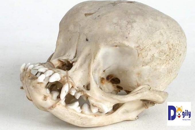 Còn đây là bức ảnh minh chứng rõ nét nhất những bất hạnh mà giống chó này phải chịu. Một hộp sọ bị biến dạng, móp mèo của một chú chó Pug ngày nay. Trông như của người ngoài hành tinh, hay vừa trải qua một tai nạn khủng khiếp vậy. Tất cả là hậu quả của con người lai tạo.