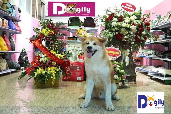 Hình ảnh một chú chó Akita tại một cửa hàng của Dogily Petsho