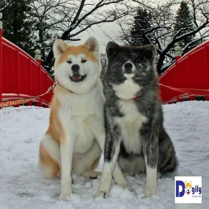 Chương trình Google street view với chó Akita Inu được thực hiện bởi hai nhân vật chính. Đó là chú chó AKo (màu vàng trắng bên trái) và Asuke (màu vện)