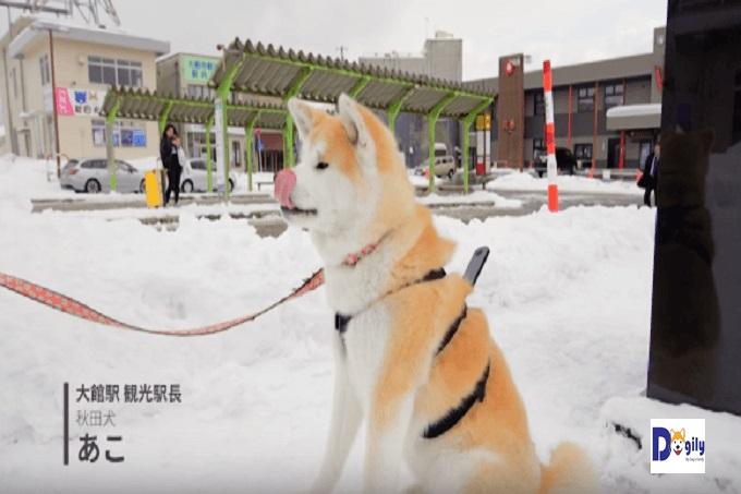 Hình ảnh luôn gắn với dự án là bộ lông chó Akita trong mỗi khung hình. Trông thật mềm mại và dễ thương. Bạn chỉ muốn ôm ngay em í vào lòng thôi