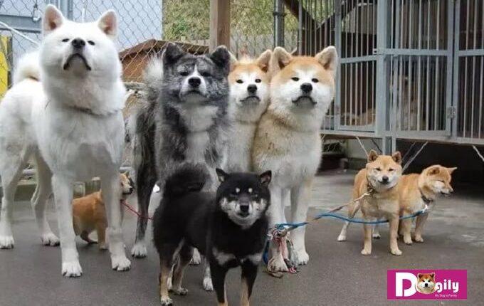 Điểm giống và khác nhau giữa chó akita và shiba inu. Hình trên: Chó Akita có kích thước vượt trội so với chó Shiba Inu