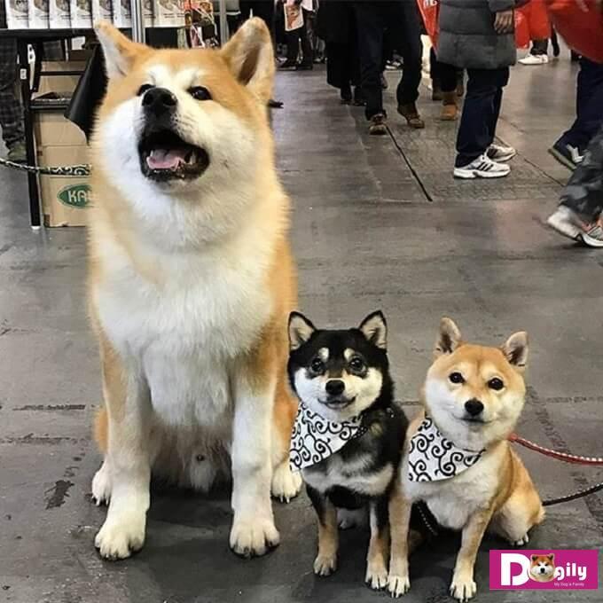 Cả hai giống chó AKita và shiba inu đều có tính cách điềm đạm giống như một chú mèo vậy