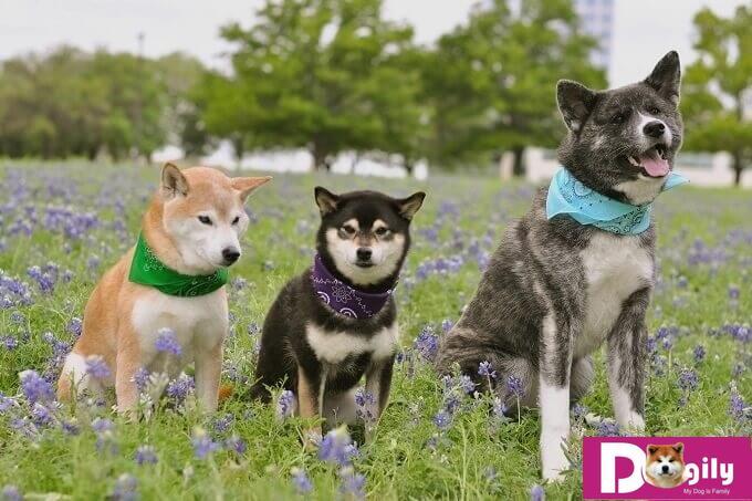 Cả hai giống chó AKita và shiba inu đều là những thợ săn thiện nghệ. Chính vì vậy, bạn cần lưu ý khi đưa chúng ra nơi công cộng hoặc tiếp xúc với vật nuôi khác