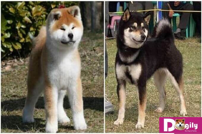 Cả chó akita và shiba inu đều là những giống chó quý hiếm của Nhật Bản. Cần được bảo tồn nghiêm ngặt
