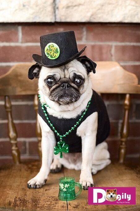 Chó Pug ngày nay có một gương mặt phảng, mũi tịt, mắt lồi và gần như không có mõm. Trông như một chú hề vậy.