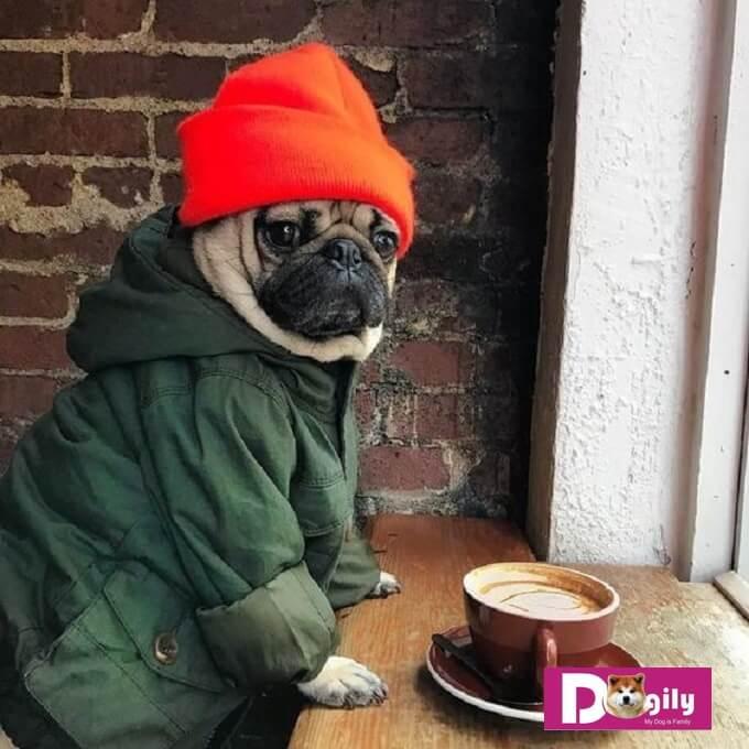 Công bằng mà nói, nếu không có các vấn đề di truyền. Chó Pug là một giống chó tương đối hoàn hảo. Thích hợp với điều kiện sống ở đô thị.