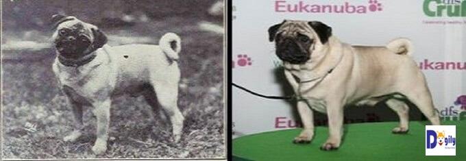 Hình ảnh so sánh chó Pug ngày nay với cách nay hơn 1 thế kỷ. Hoàn toàn khác biệt.