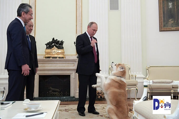 Tổng thống Nga Vladimir Pu Tin bên cô chó Akita Inu tên Yume (tiếng Nhật là giấc mơ) trong một buổi tiếp đoàn khách Nhật Bản