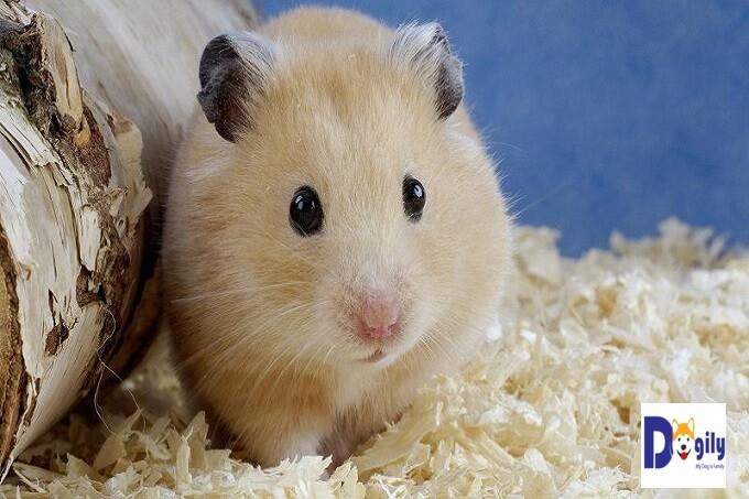 Chuột Hamster ngày nay rất được các bạn trẻ tuổi teen ưa thích do kích thước nhỏ nhắn, xinh xắn và giá bán rất vừa phải phù hợp với túi tiền của học sinh, sinh viên