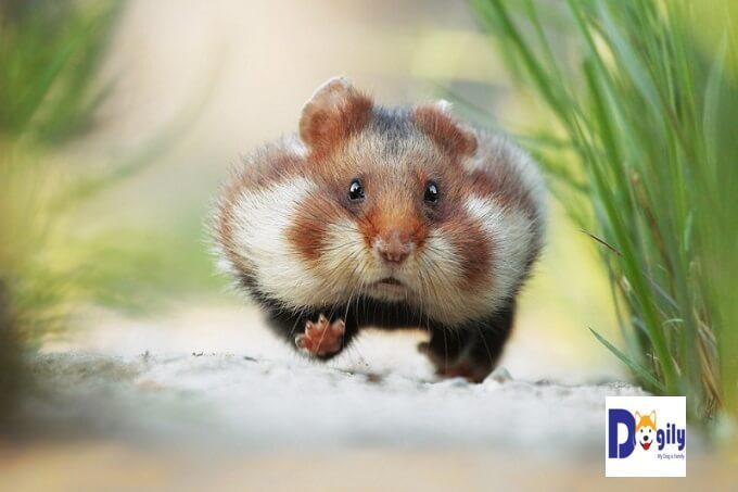 Trong tự nhiên, do sống trong môi trường khắc nghiệt. Chuột hamster có tập tính tích trữ thực phẩm trong hai túi trong khoang miệng