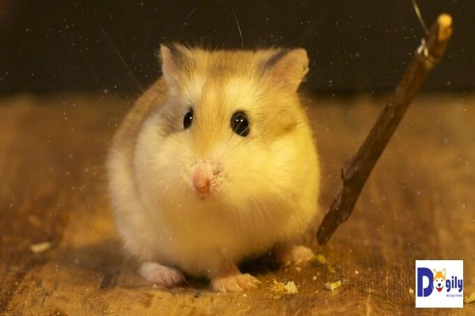 Chuột hamster có thân hình bụ bẫm và tương đối tròn trịa