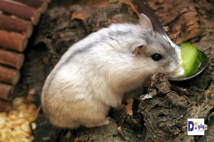 Chuột hamster có tập tính hay tích trữ lương thực. Vì vậy bạn nên cho chúng lượng thức ăn vừa đủ dùng. Tránh cho chúng ăn quá nhiều