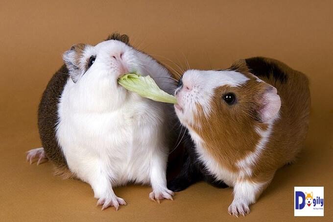 Bạn có thể cho chuột hamster ăn các gói thực ăn trộn sẵn. Đã bao gồm hạt ngũ cốc các loại, rau và bánh quy