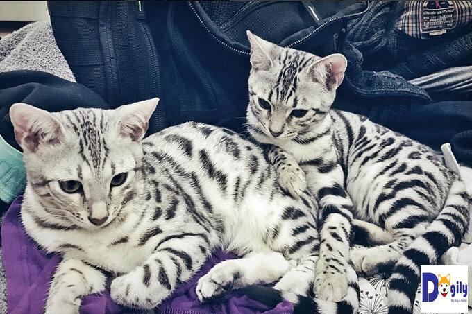 Bạn nên chọn mua mèo Bengal từ những nhà nhân giống hay người bán có uy tín. Để tránh mua phải mèo tật lỗi do di truyền hay mắc các chứng bệnh truyền nhiễm