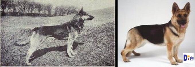 Hình ảnh chó Becgie cách đây trên 100 năm. Hoàn toàn bình thường và lưng không bị cong gập, chân sau khuỵu xuống như ngày nay.